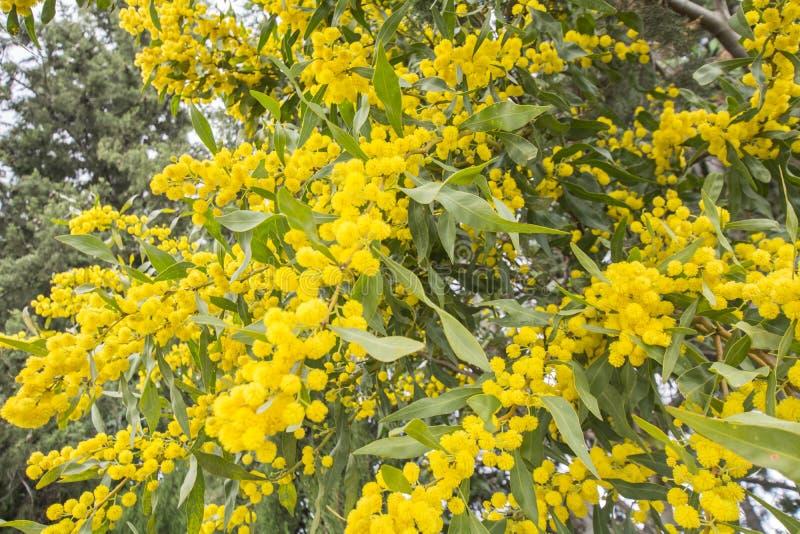 Akacjowy dealbata kwiatu srebny chrustowy, błękitny (, chrustowy lub mimozy) zdjęcie stock