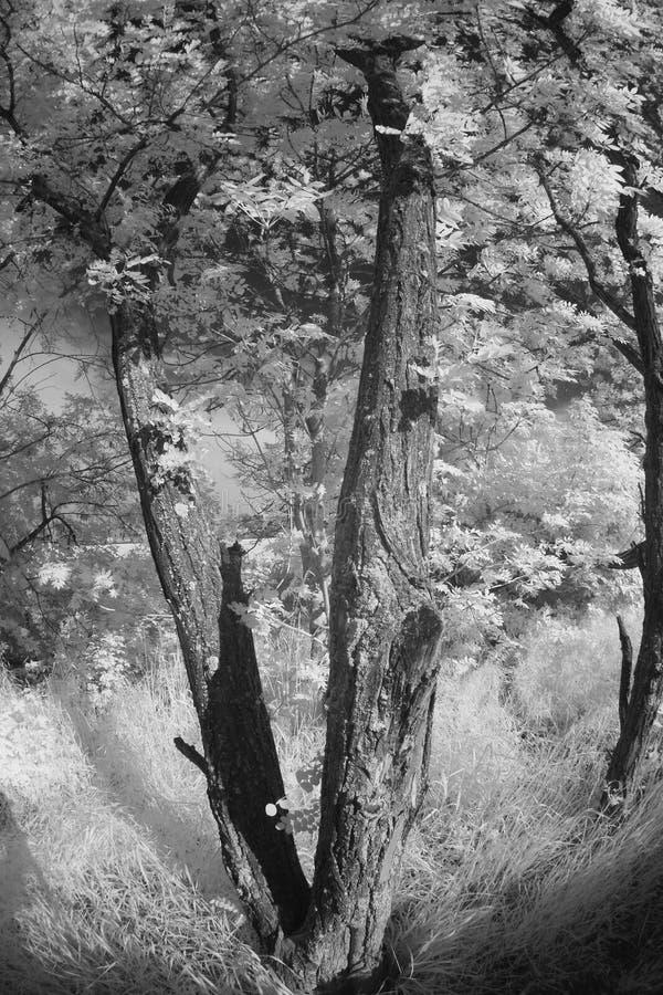Akacjowy drzewny infrared oświetlenie zdjęcia royalty free