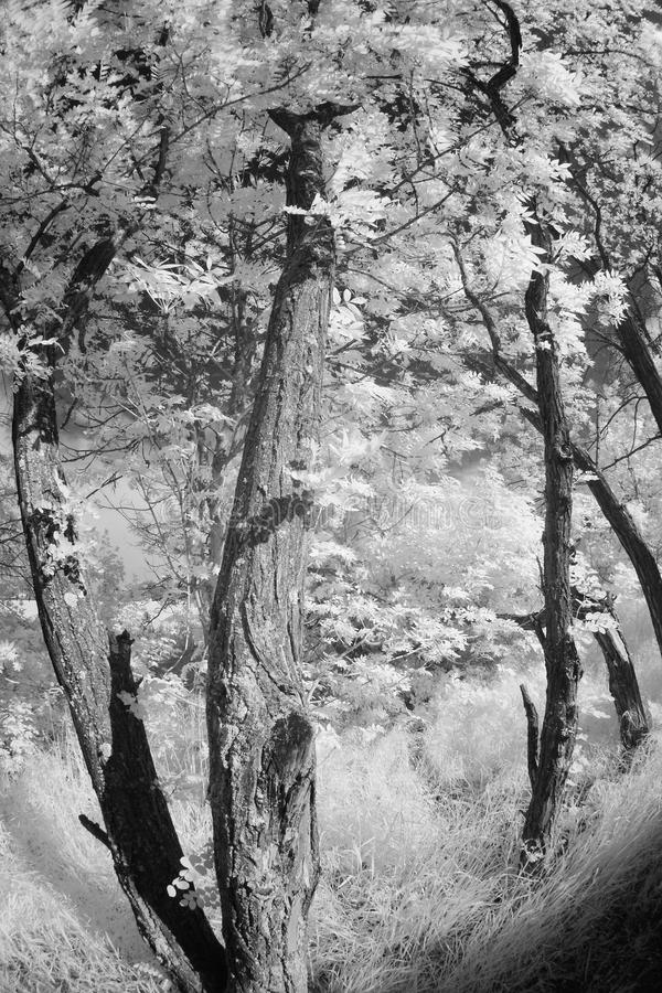 Akacjowy drzewny infrared oświetlenie obraz stock