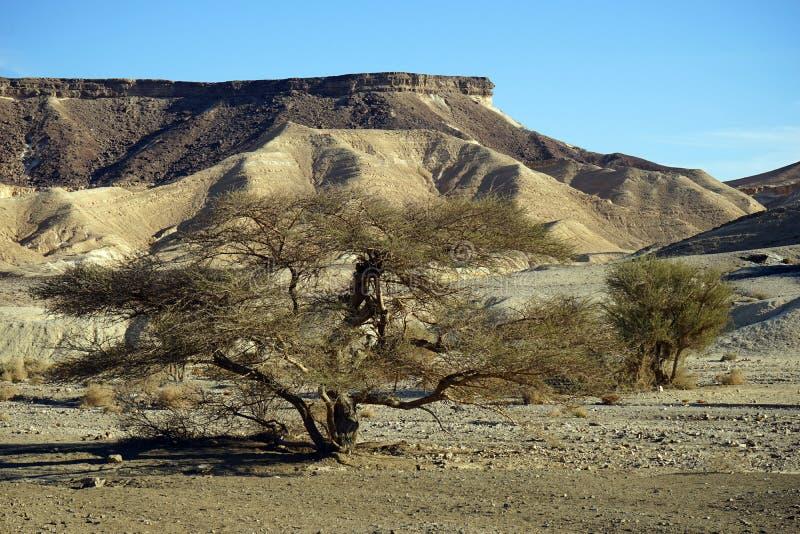 Akacjowy drzewo zdjęcia stock