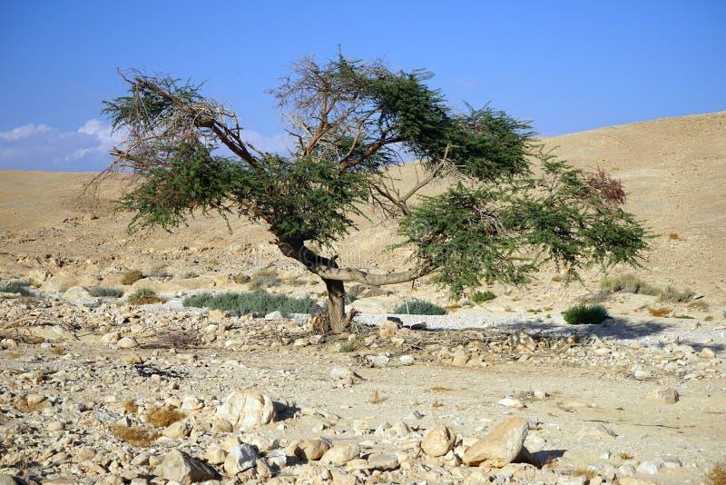 Akacjowy drzewo obrazy stock