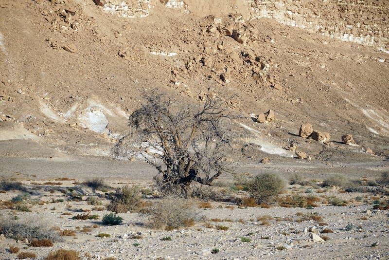Akacjowy drzewo obraz stock