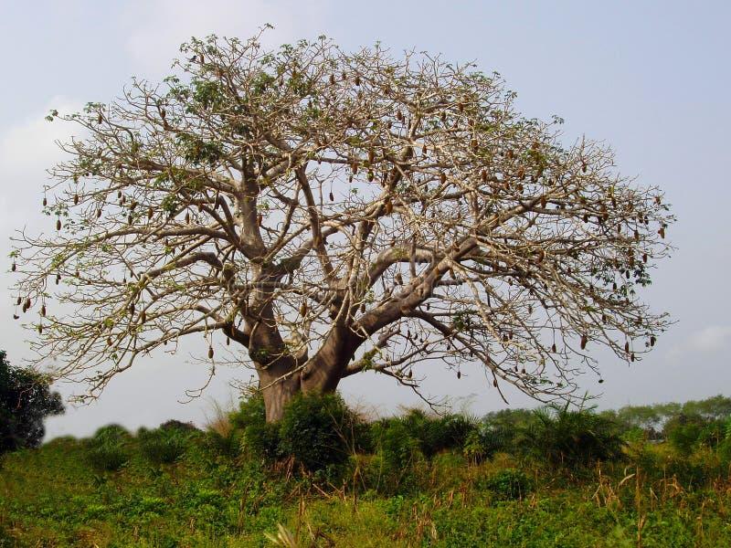 akacjowy drzewo zdjęcia royalty free