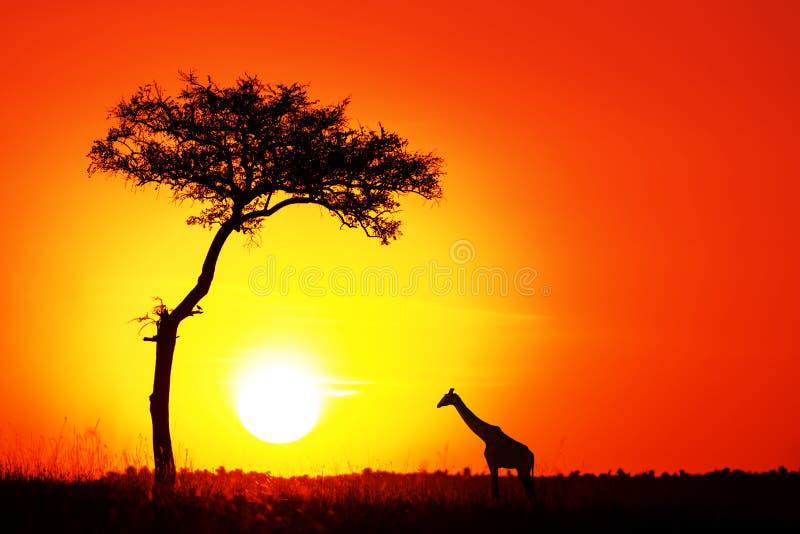 Akacjowy drzewo i ?yrafa przeciw po?o?enia s?o?cu w Masai Mara zdjęcie stock