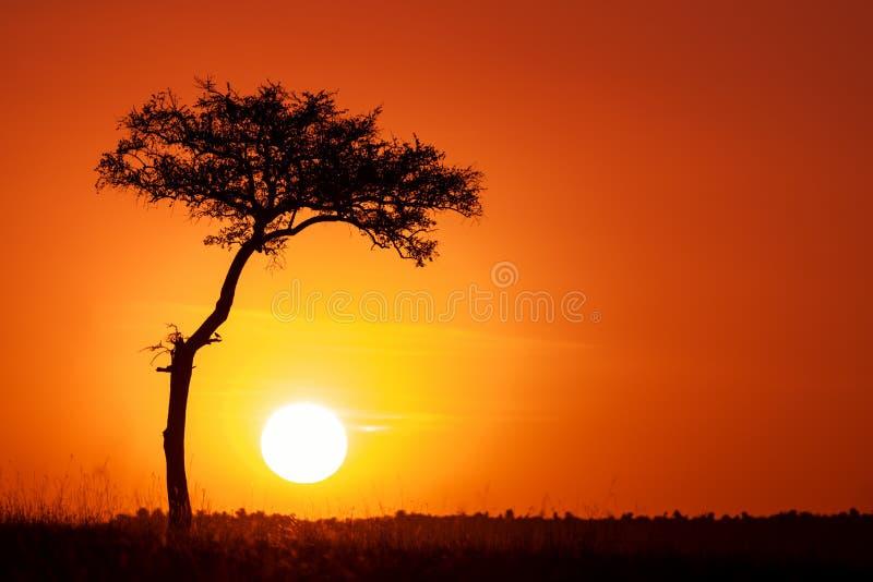 Akacjowy drzewo i położenia słońce w Masai Mara obraz royalty free