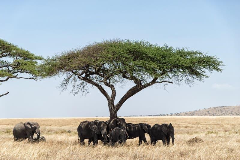 Akacjowy drzewo i słonie zdjęcia stock
