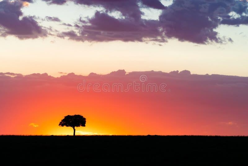 Akacjowy drzewo na horyzoncie przy zmierzchem w Masai Mara obraz royalty free