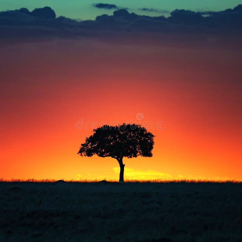 Akacjowy drzewo przy zmierzchem w Masai Mara zdjęcia royalty free