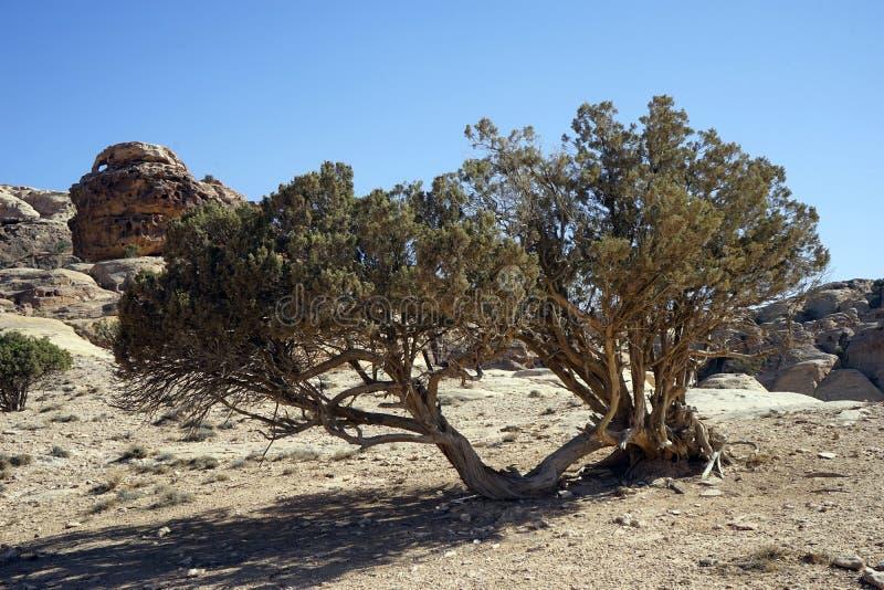 Akacjowy drzewo w zdjęcia royalty free