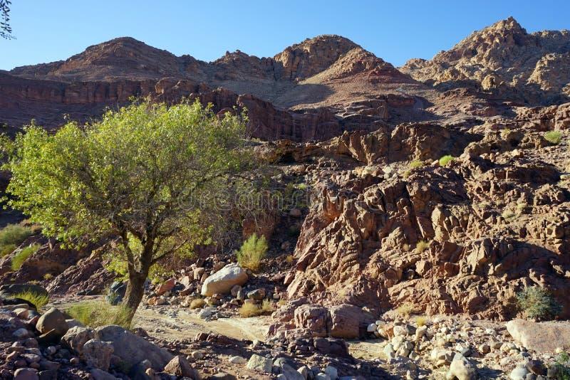 Akacjowy drzewo w wadim w Dana parku narodowym zdjęcie royalty free