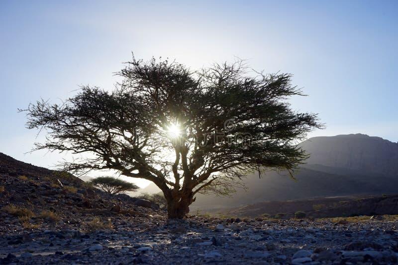 Akacjowy drzewo z światłem słonecznym obraz royalty free