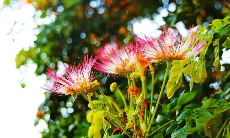Download Akacjowy kwiat zdjęcie stock. Obraz złożonej z strajki - 41955640