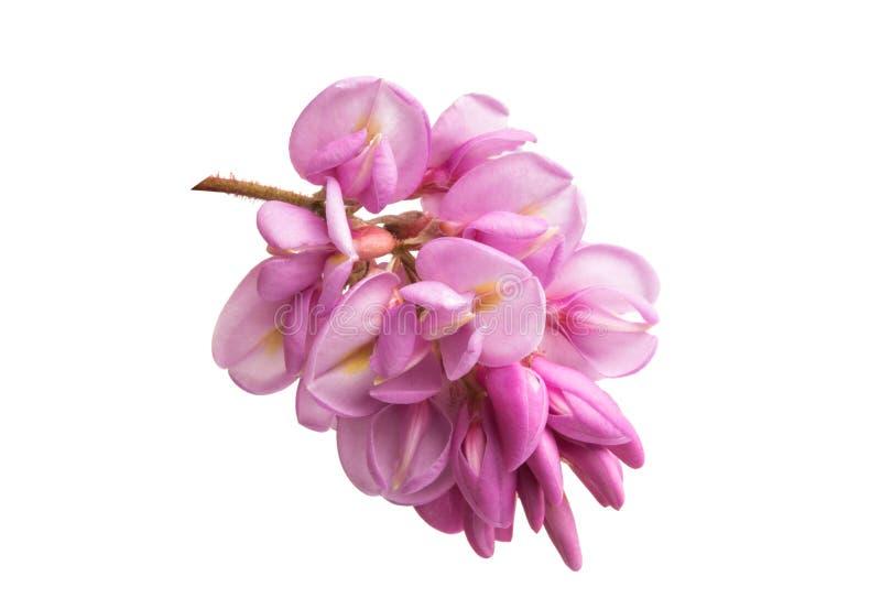 Akacjowy kwiatu bez odizolowywający zdjęcia stock