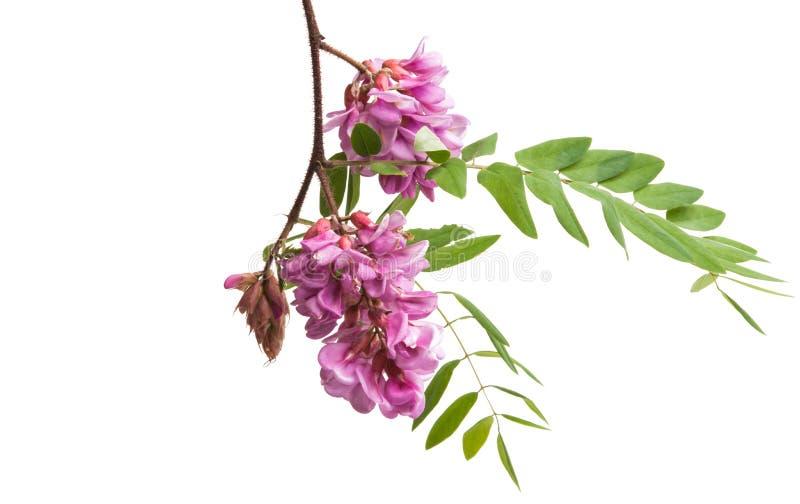 Akacjowy kwiatu bez odizolowywający fotografia stock