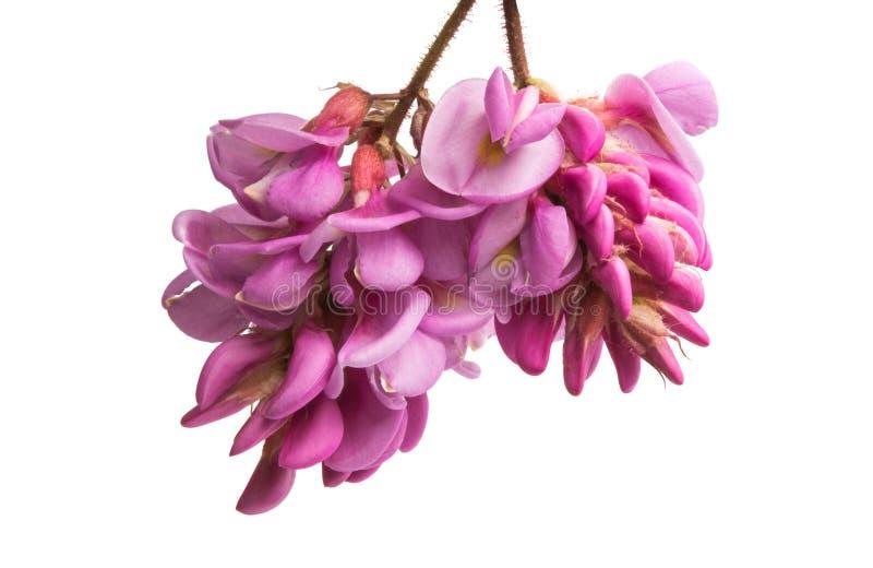 Akacjowy kwiatu bez odizolowywający zdjęcie stock