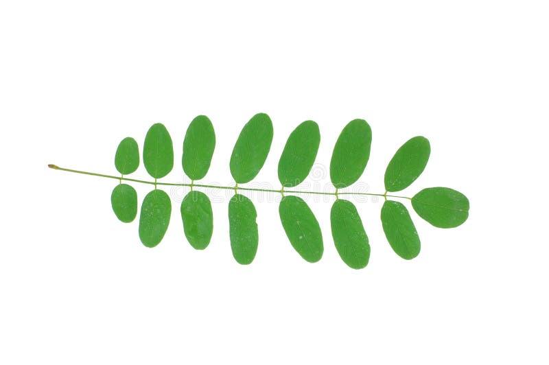 akacjowy s liści, obrazy stock