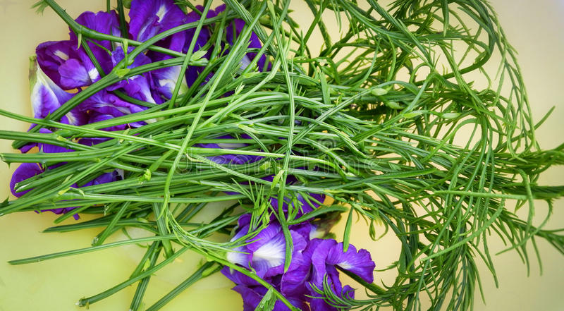 Akazie pennata kletternder Zweig und Erbsenblumen lizenzfreie stockbilder