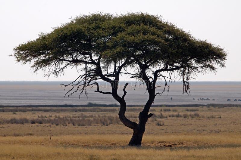 Akazien-Baum in der afrikanischen Landschaft stockbild