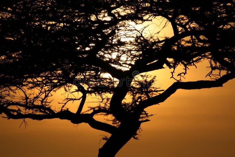Akazien-Baum-Sonnenuntergang, Serengeti, Afrika lizenzfreie stockfotografie