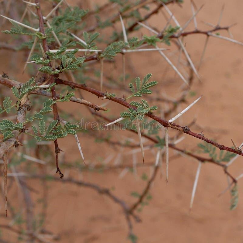 Akazienbaum in Sahara-Wüste lizenzfreies stockfoto