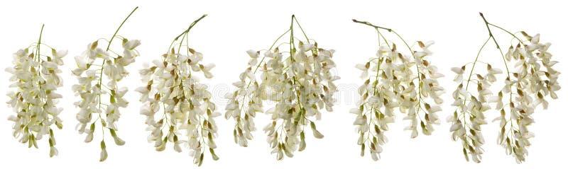 Akazienblume lokalisiert Satz oder Gruppe Blüte Robiniablumen auf der Niederlassung lokalisiert auf weißem Hintergrund Aromatisch lizenzfreies stockfoto