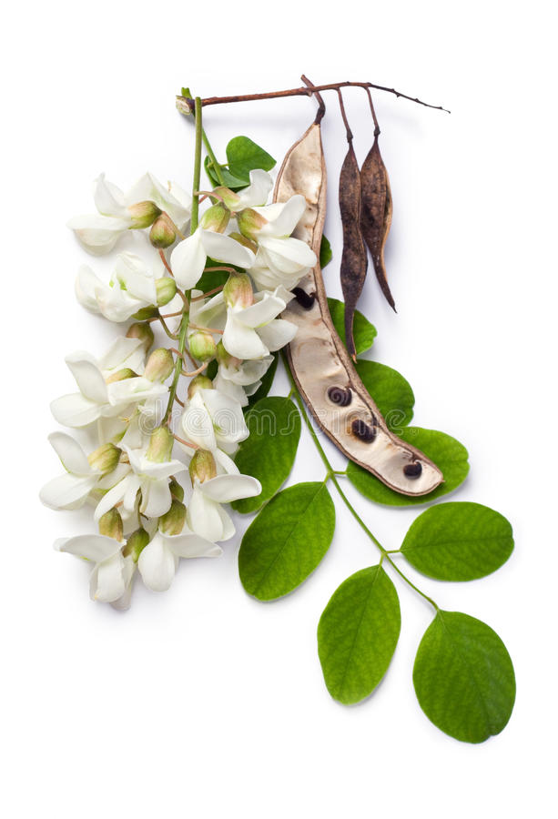 Akazienblumen, -blatt und -startwerte für Zufallsgenerator lizenzfreie stockbilder