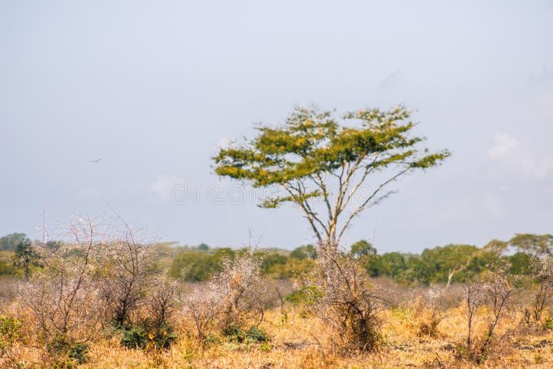 Akazientötung Baum stockbild