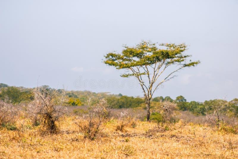 Akazientötung Baum lizenzfreies stockfoto