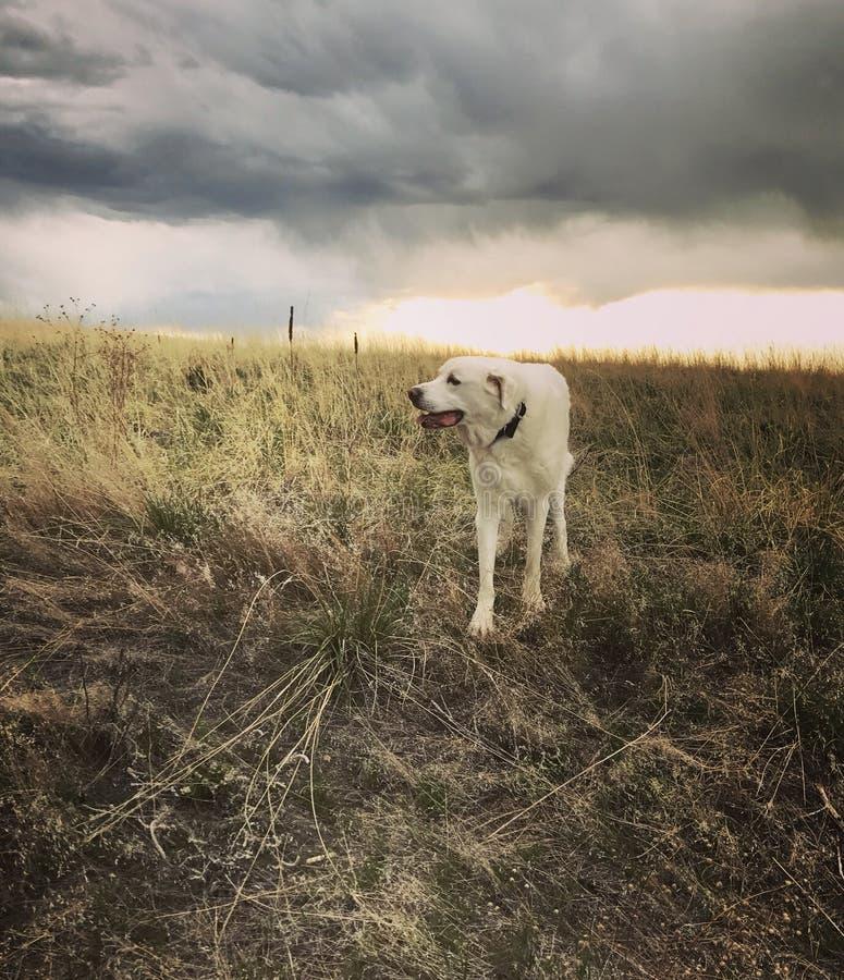 Akbash dog stock photo