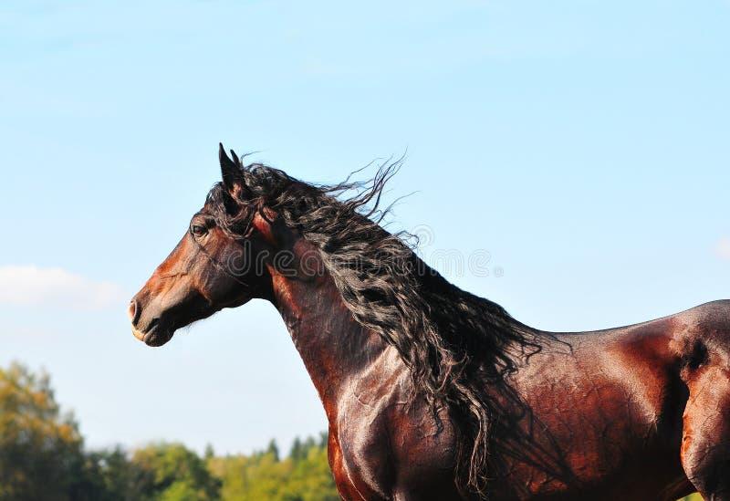akci ogier podpalanego konia portreta ogier obraz royalty free