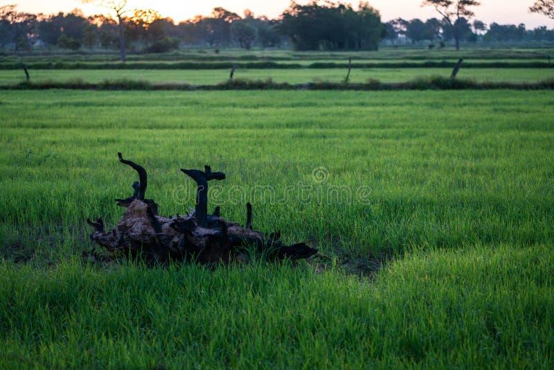 Akcyjna fotografia - szalunek na ryżu polu obraz royalty free