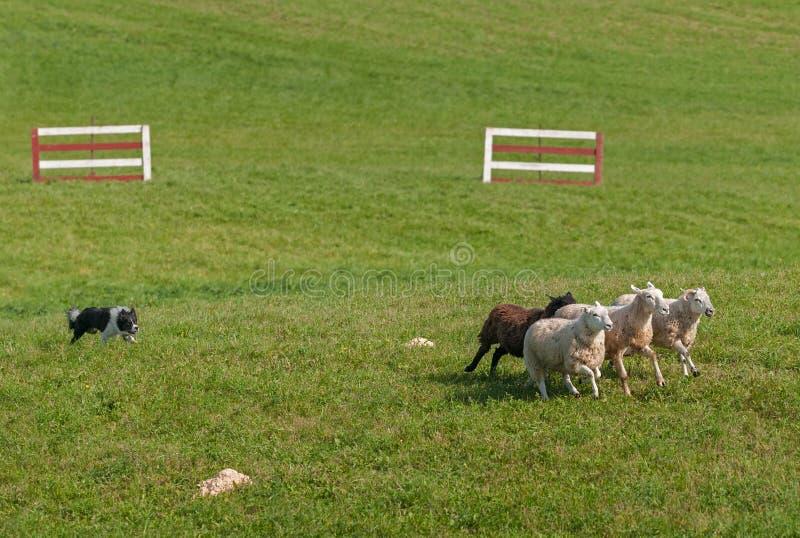 Akcyjny pies Biega Baraniego Ovis aries w okrąg zdjęcia stock