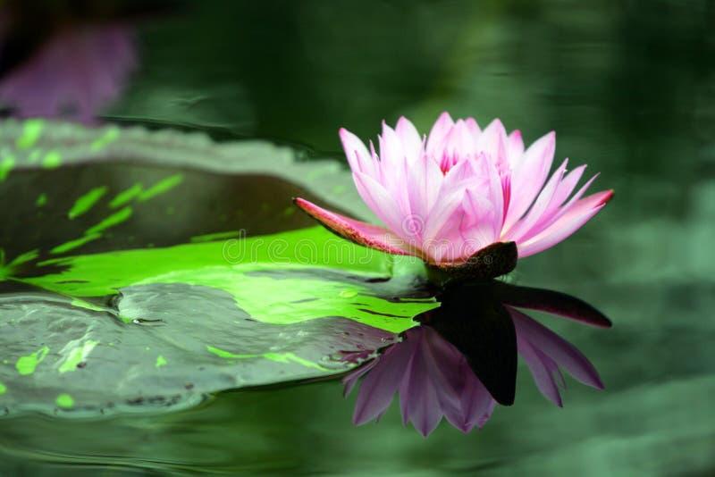 Akcyjny wizerunek Lotus w stawie zdjęcie royalty free
