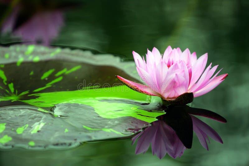 Akcyjny wizerunek Lotus w stawie obrazy royalty free