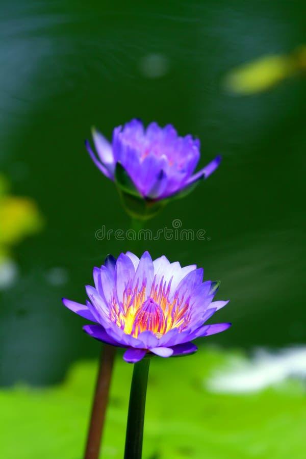 Akcyjny wizerunek okwitnięcie lotosowy kwiat w Japońskim stawie zdjęcia stock