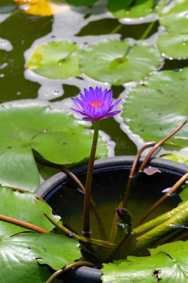 Akcyjny wizerunek okwitnięcie lotosowy kwiat w Japońskim stawie obraz stock