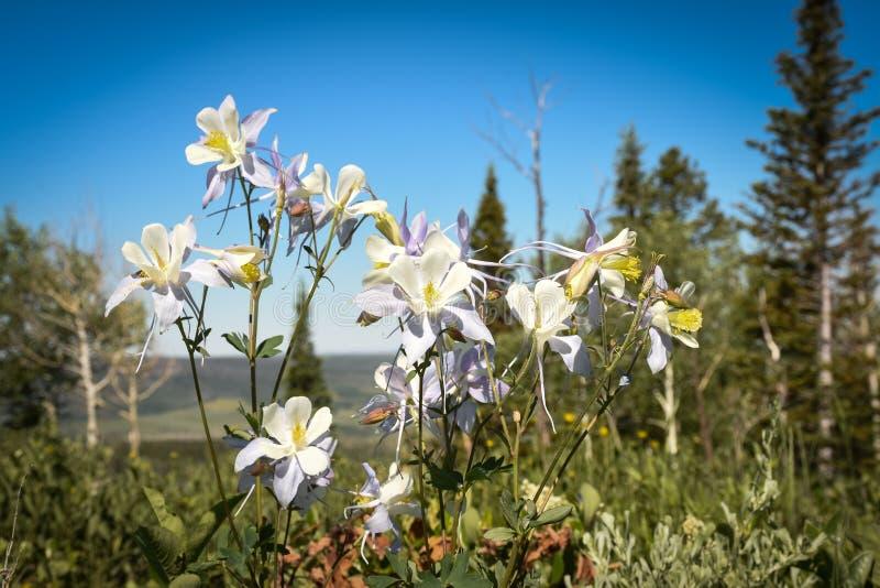 Akeleien u. x28; Aquilegia-coerulea& x29; Medizin-Bogen-Staatsangehöriger Forest Wyoming lizenzfreie stockfotos