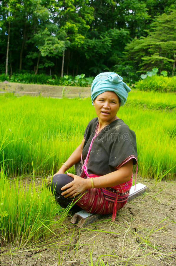 Akha women in the rice field stock photos
