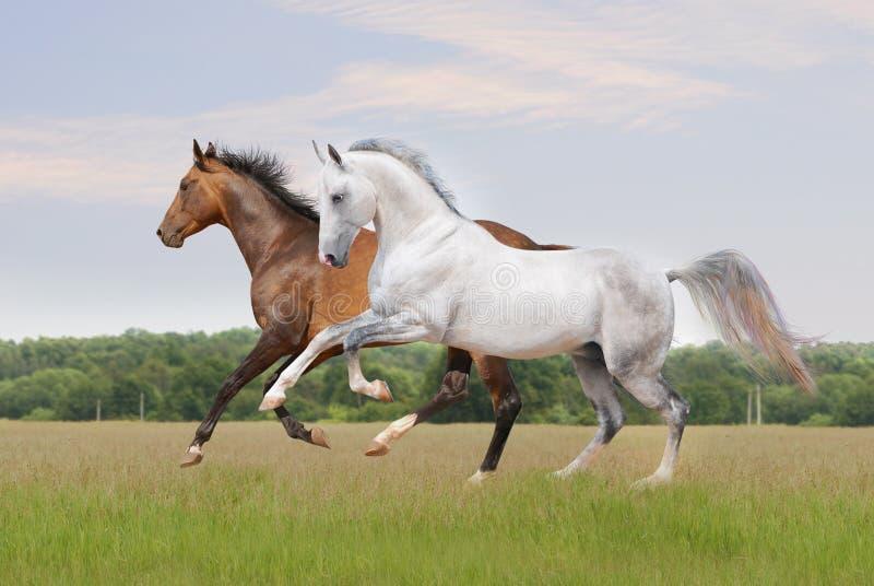 akhal λευκό αλόγων teke στοκ εικόνες με δικαίωμα ελεύθερης χρήσης