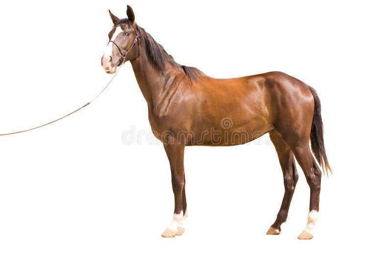 akhal hästteke royaltyfri foto