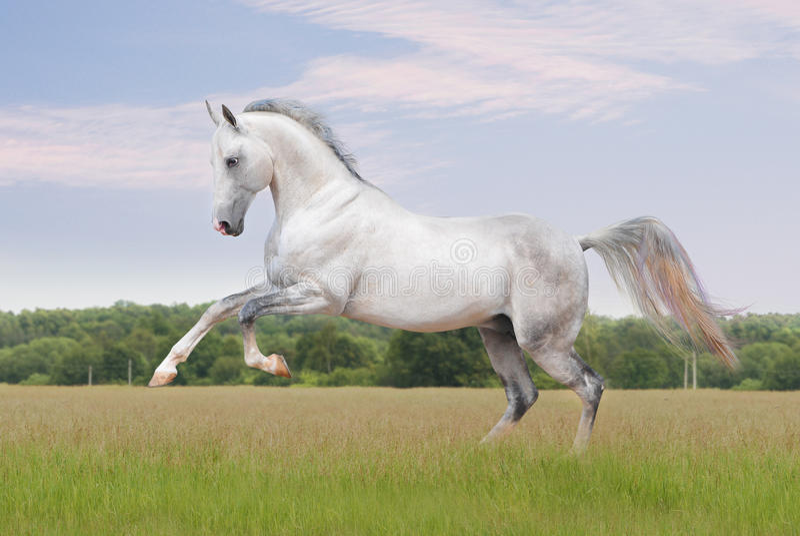 akhal hästtekewhite royaltyfri foto