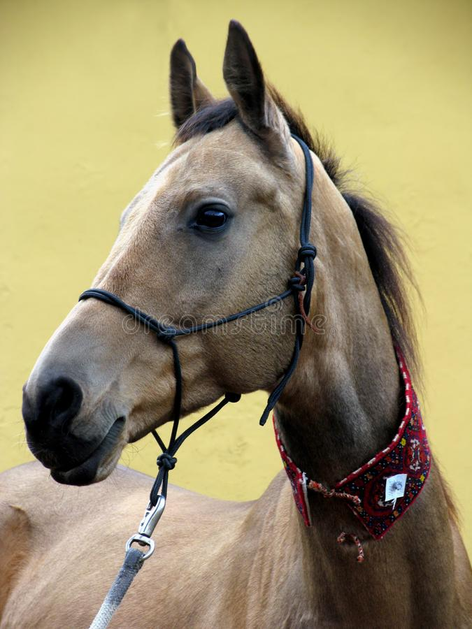 akhal koń teke fotografia royalty free