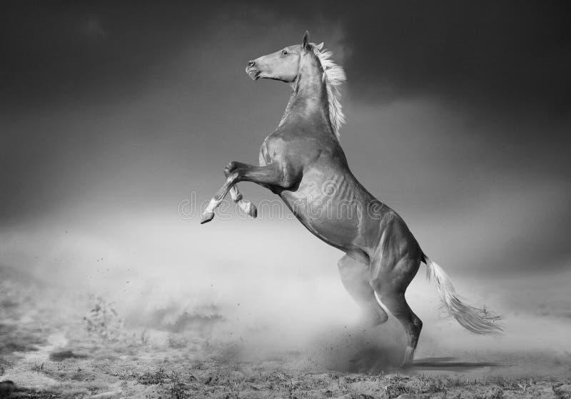 Akhal-teke马后方在沙漠 库存照片