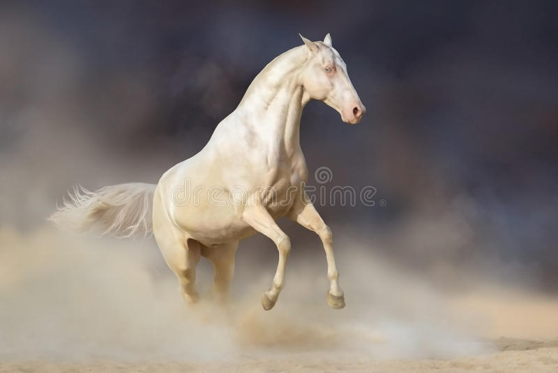 Akhal-teke马在沙漠 库存照片