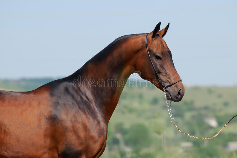 Akhal-teke horse royalty free stock images