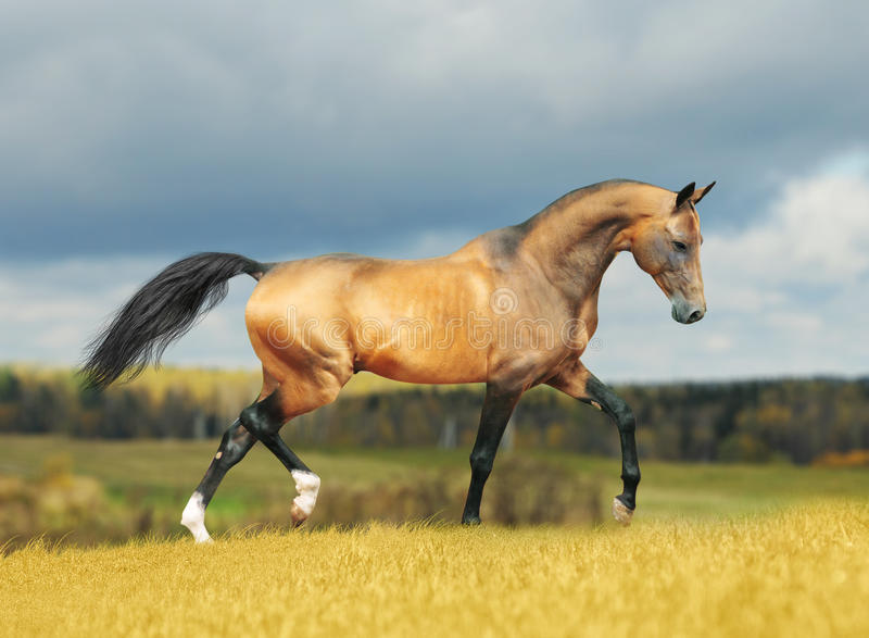 Download Akhal-teke horse in autumn stock image. Image of horse - 22535275