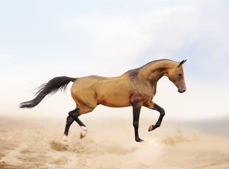 Akhal-teke horse in desert royalty free stock photo