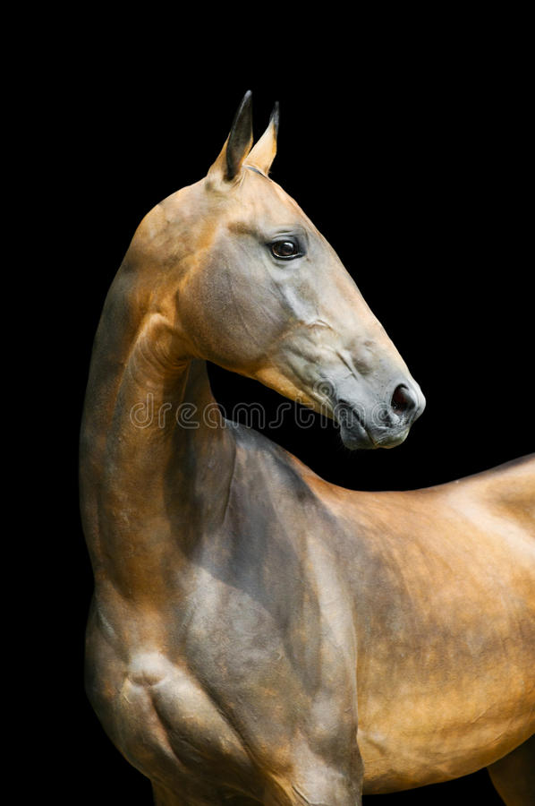 Akhal-teke horse isolated on black