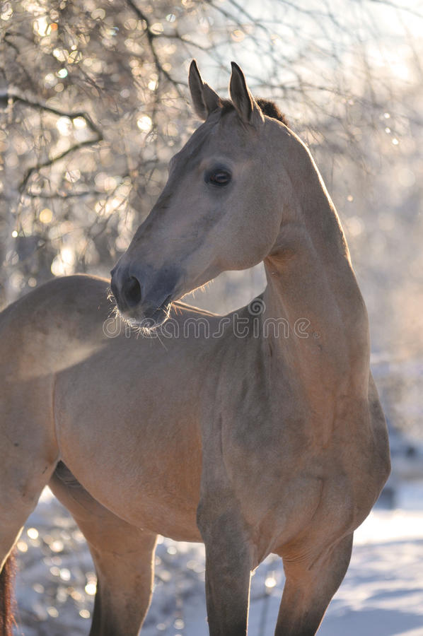 Akhal-teke horse portrait. In winter stock image