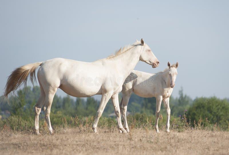 Akhal-Teke paardenmerrie en veulen stock afbeeldingen